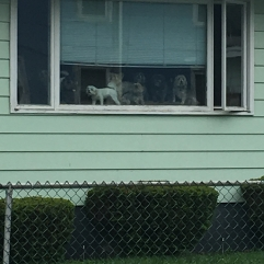 This house had at least 10 dogs in the window all barking at Lucky. #doglady