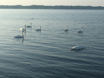 Swans abound.