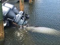 Manatees drinking from boat flushing engine